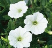 SURFÍNIA WHITE (125 Plantas).