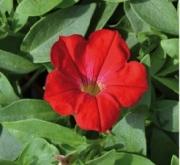 SURFÍNIA RED (125 Plantas).