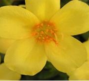 PORTULACA AMARILLA UMBRATICOLA (150 Plantas (x2)).
