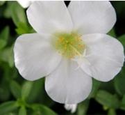 PORTULACA BLANCA UMBRATICOLA (150 Plantas (x2)).