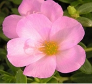 PORTULACA ROSA UMBRATICOLA (150 Plantas (x2)).