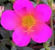 PORTULACA PURPURA UMBRATICOLA (150 Plantas (x2)).