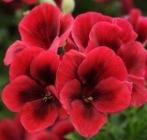 Geranios Grandiflora Candy Flowers