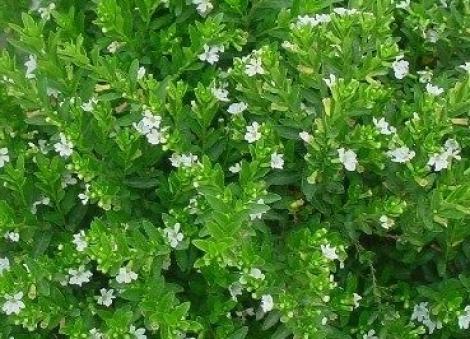 CUPHEA HYSSOPIFOLIA BLANCO (150 Plantas).