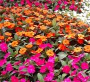 SUNPATIENS MIX (84 Plantas).