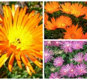 MESSEM LAMPRANTHUS MIX (84 Plantas).