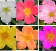 POTULACA UMBRATÍCOLA MIX (125 Plantas (x2)).