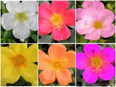 POTULACA UMBRATÍCOLA MIX (125 Plantas).