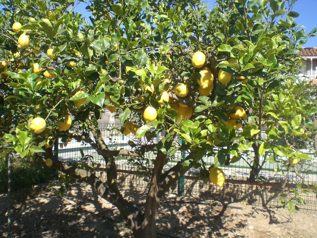 Limonero eureka 30 fitoagr cola - Limonero en maceta ...