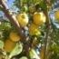 limonero eureka alcanar