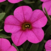 CALIBRACHOA KABLOOM DEEP PINK