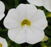 CALIBRACHOA KABLOOM WHITE (144 Plantas).