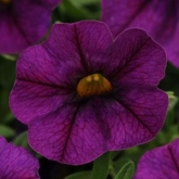 CALIBRACHOA KABLOOM DEEP BLUE
