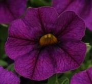 CALIBRACHOA KABLOOM DEEP BLUE (144 Plantas).