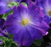 PETUNIA SOPHISTICA BLUE MORN (240 Plantas).