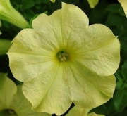 PETUNIA SOPHISTICA LIME GREEN