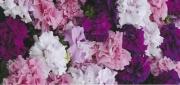 PETUNIA GRANDIFLORA CASCADE (DOBLE) MIX