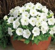 PETUNIA PICOBELLA WHITE (240 Plantas) - Mínimo 3...