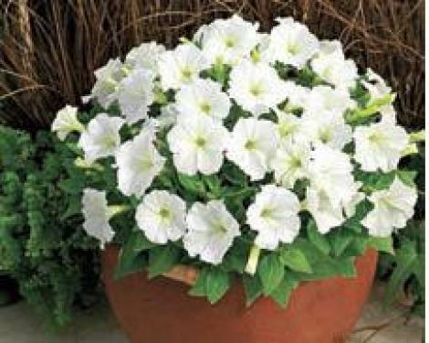 PETUNIA PICOBELLA WHITE - (240 Plantas/bandeja).Mínimo 3 Bandejas.