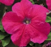 PETUNIA EZ RIDER ROSE (240 Plantas).