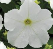 PETUNIA EZ RIDER WHITE (240 Plantas).