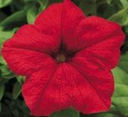 PETUNIA EZ RIDER RED (240 Plantas).