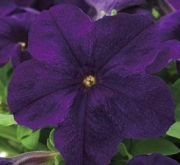PETUNIA EZ RIDER BLUE (240 Plantas).