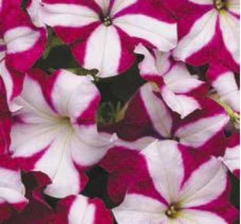 PETUNIA EASY WAVE BURGUNDY STAR (240 Plantas).