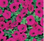 PETUNIA EASY WAVE PURPLE