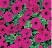 PETUNIA EASY WAVE PURPLE (240 Plantas).
