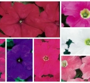 PETUNIA GRANDIFLORA DREAMS MIX (240 Plantas).