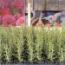 ROMERO ROSEMARY (144 Plantas).