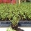 AJEDREA MONTAÑOSA WINTER SAVORY (144 Plantas).