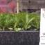 DIANTHUS IDEAL MIX (240 Plantas).