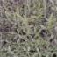 LAVANDA ANGUSTIFOLIA (125 Plantas).