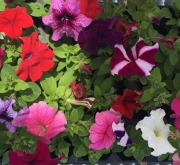 PETUNIAS GRANDIFLORA MEZCLA (28 Plantas)