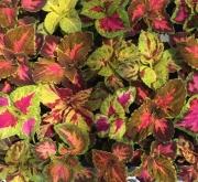 COLEOS MEZCLA (28 Plantas)