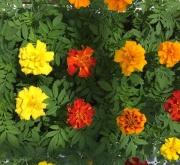 TAGETES TRIPLOIDES MEZCLA (28 Plantas)