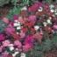 DIANTHUS TELSTAR MEZCLA (28 Plantas)