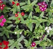 VERBENAS MEZCLA (28 Plantas)