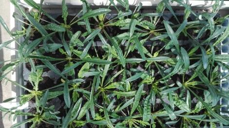 GAZANIAS MEZCLA (28 Plantas)