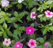 VINCAS CORA MEZCLA (28 Plantas)