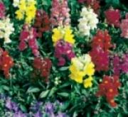 ANTHIRRINUMS MEZCLA (28 Plantas )