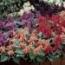 SALVIAS MEZCLA (28 Plantas)