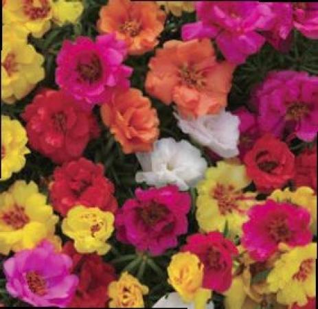 PORTULACAS HAPPY HOUR MEZCLA (28 Plantas)