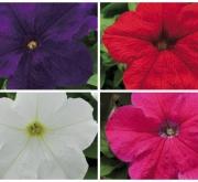PETUNIA EZ RIDER MEZCLA (28 Plantas)