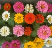 ZINNIAS MAGELLAN MEZCLA (28 Plantas)