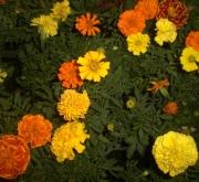TAGETES PATULA BONANZA MEZCLA (28 Plantas)