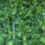 PLANTEL APIO VERDE