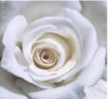 Rosales de Flor Grande Colección Ferrer ®